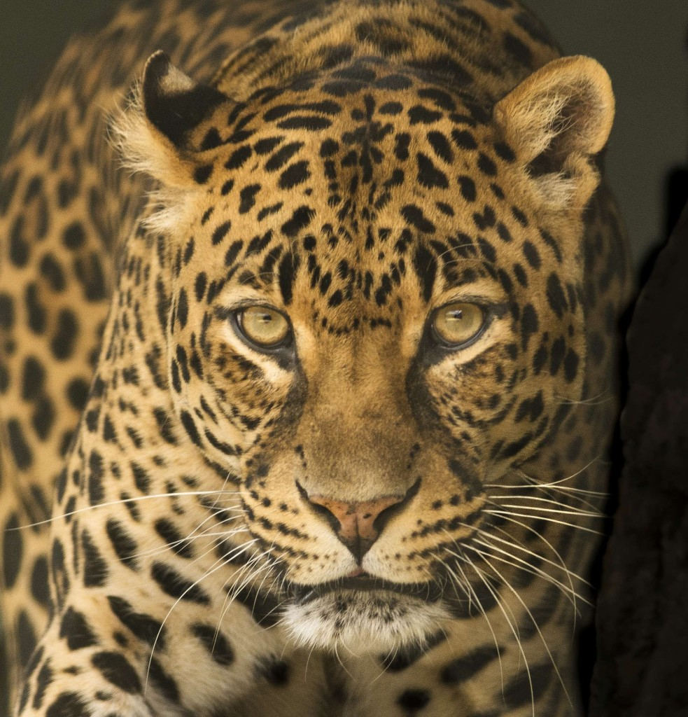 leopard-2798929_1920